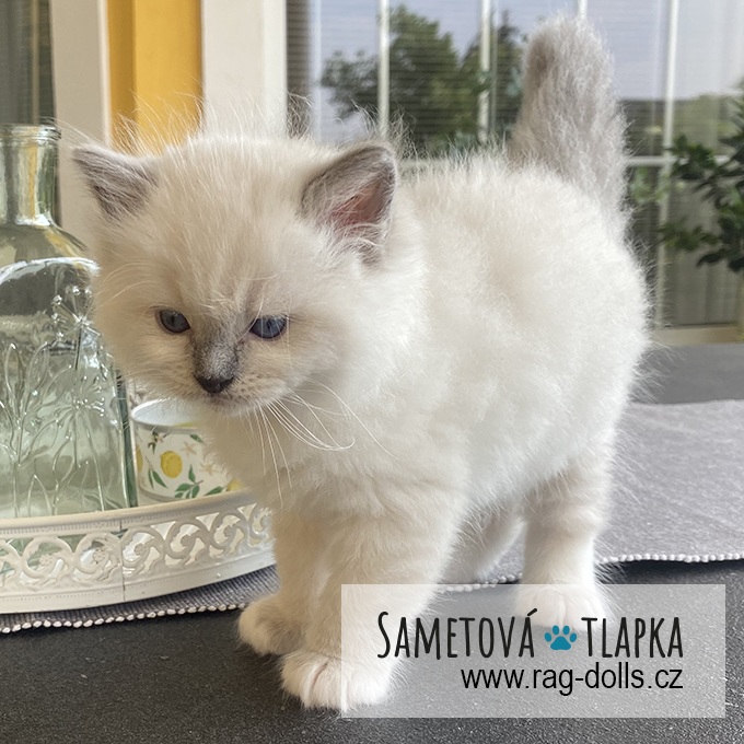 Ragdoll kitten - Honey Girl Sametová tlapka