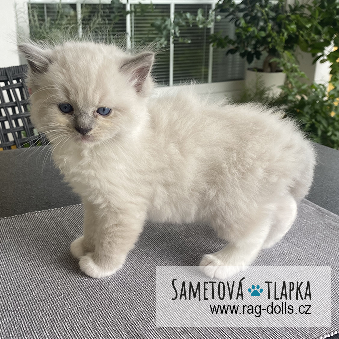 Ragdoll kitten - Harry Sametová tlapka